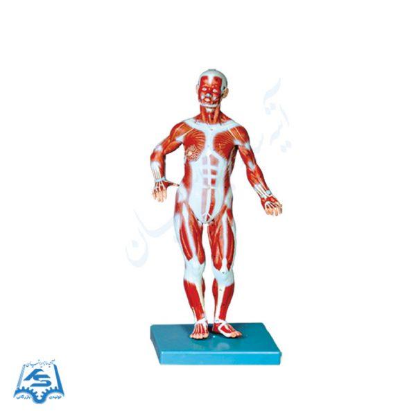 مولاژ عضلات بدن