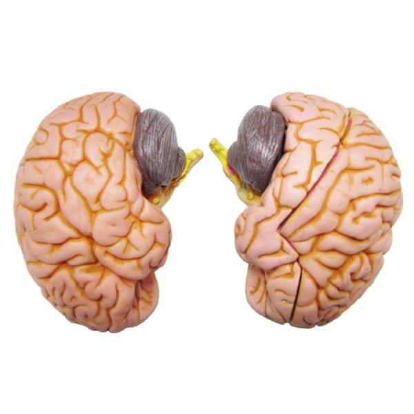 مولاژ مغز انسان (۴ قسمتی)