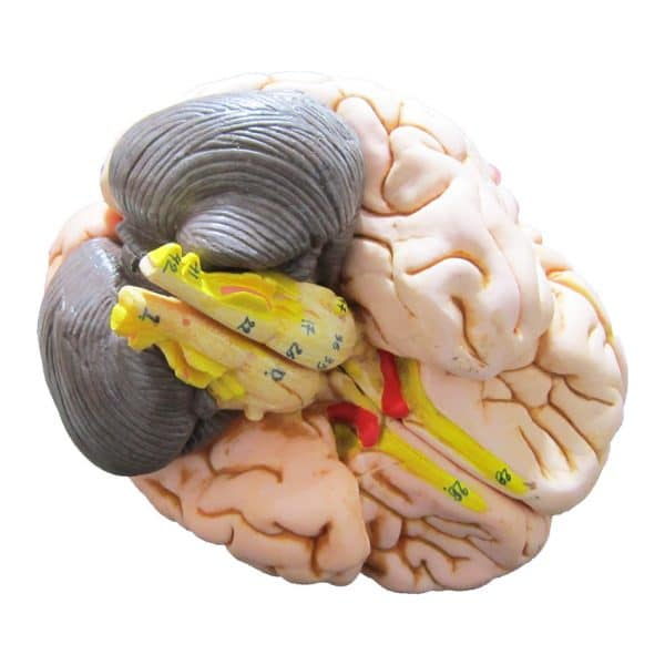 مولاژ مغز انسان (۲ قسمتی)
