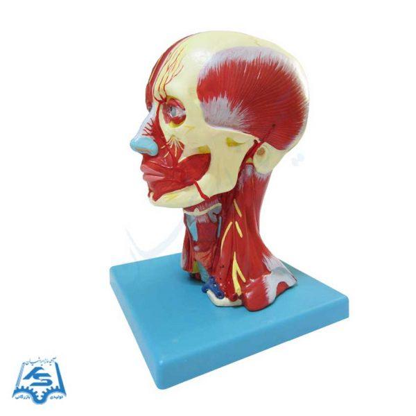 مولاژ عضلات سر و گردن