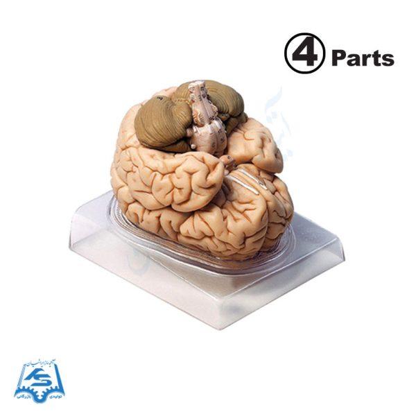 مولاژ مغز انسان (4 قسمتی)