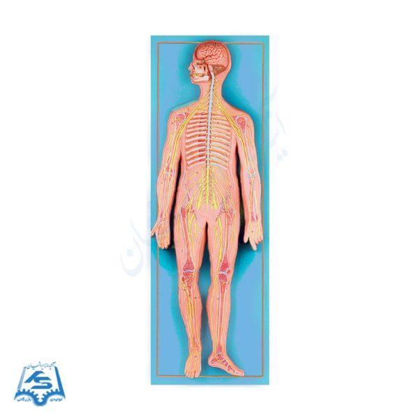 مدل نمایش دستگاه عصبی انسان