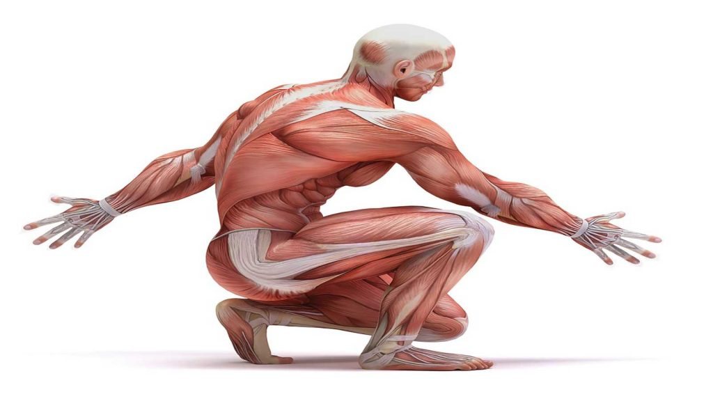 سیستم عضلانی
